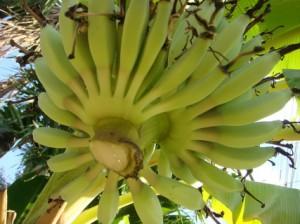 ตัดปลีกล้วย