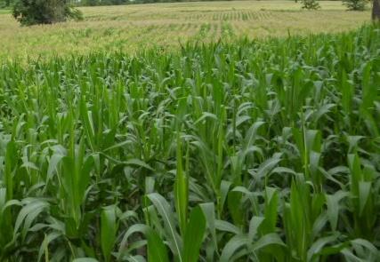 sweet-corn2