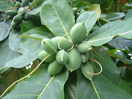 India-Almond3
