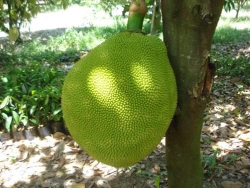 Jeckfruit