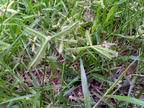 หญ้าปากควาย1