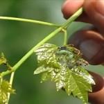 แมลงศัตรูพืช