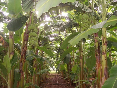 สวนกล้วยน้ำว้า