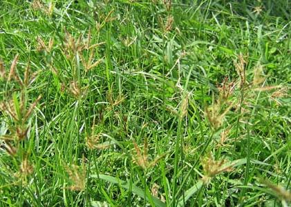 หญ้าแห้วหมู