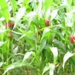 read-corn2