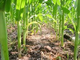 read-corn3