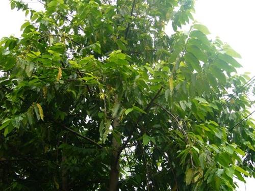 ต้นกระดังงาไทย