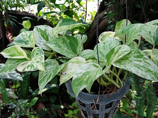 Epipremnum aureum2