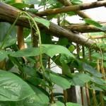 Yard long bean1