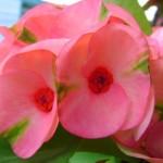 ดอกโป้ยเซียน