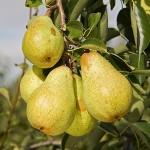 euro-pear