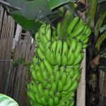 กล้วยหอมเขียว