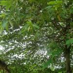 ต้นตะขบ