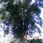 ต้นมะเกลือ