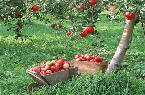 ต้นแอปเปิ้ล