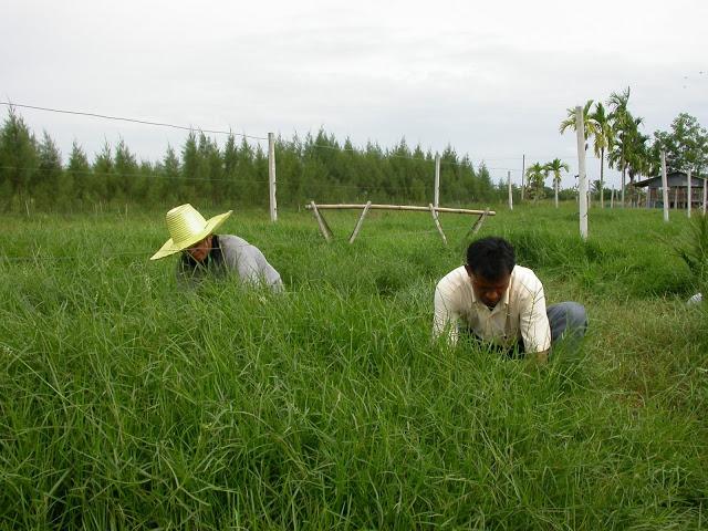 การเก็บเกี่ยวหญ้าหวายข้อ