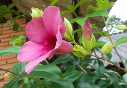 บานบุรีดอกม่วง