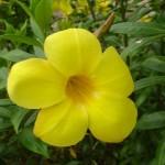 บานบุรีดอกเหลือง