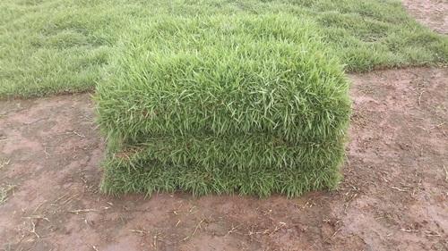 ปลูกหญ้านวลน้อย