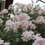 ยี่โถดอกขาว