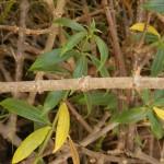 ลำต้นบานบุรี