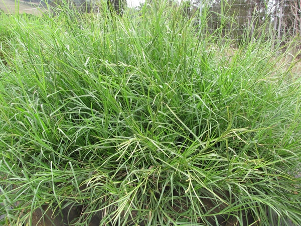 ลำต้นหญ้าหวายข้อ