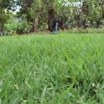 หญ้านวลน้อย1