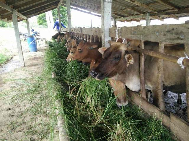 หญ้าหวายข้อเลี้ยงวัว