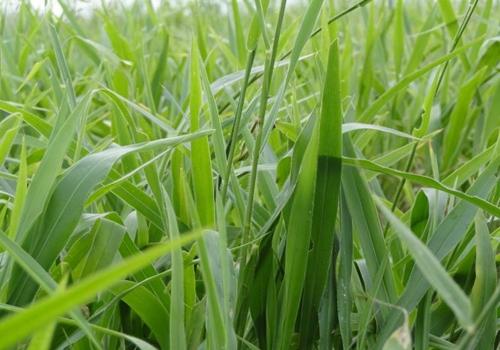 ใบหญ้ารูซี่