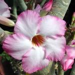 Adenium arabicum Balf