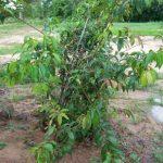 ต้นผักติ้ว