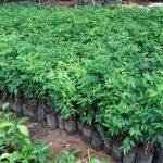 ต้นพันธุ์ผักหวานบ้าน