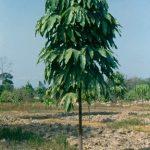 ต้นลูกสำรอง1