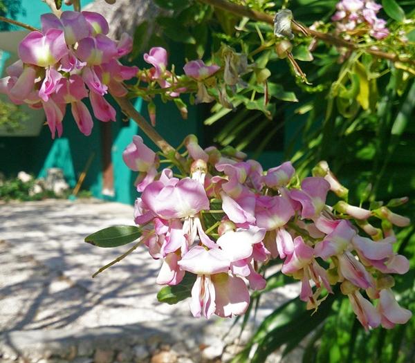ดอกแคฝรั่ง (2)